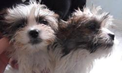 SHORKIE PUPS....Shiztu/biewer yorkie cross....1 male/1 female....Male will be small...Female has more colour.  Both have had thier first shot and dewormed...this pups are non-allergenic..PLEASE SERIOUS INQUIRES ONLY
