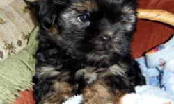 2 Shorkie puppies (ShihTzu x Yorkie)   $350 each   2 males available; pictures 1 & 2 is boy #2 pictures 3 & 4 is boy #3   Puppies have the following:   *Veterinarian health check - signed health record provided * First Vaccinations * wormed with