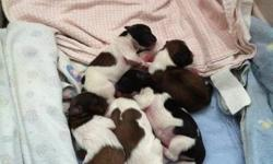 We have New Years babies. Mother is purebred minature shih tzu and father is shorkie. They will be vet checked, dewormed 3 times and have first shots. Call now to reserve yours. deposit required. 705-429-3163 Bill or Brenda They will be ready for their