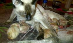 $200.00 per cat 3 males 1 female available mother chocolate point father blue point