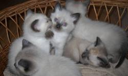 Beautiful Siamese kittens for sale. Healthy and well socialized . Seal point and possibly blue point. Will be ready to go after December 9th.