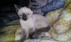 I have siamese kittens from wedge faced registered parents. these kittens are for pets only and will not come with papers. very social, litter trained. come with first shots and deworming. ready to go. I have been raising siamese for 5 yrs and have had