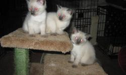 We at Windever Kennel have our last litter of siamese kittens just about ready to go home. 2 boys left available to choose from. Both parents are purebred. They are the 2 adults in the last photo. Mom is here to meet. These kittens are raised in our home