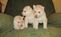 New litter of beautiful Siberian Husky puppies have just arrived. They will be available on Dec.18th and can be held till after Christmas if desired. They will have been dewormed, vaccinated and had first treatment of Advantage Multi.  Deposit of $100.