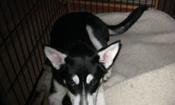 I am selling a Siberian Husky beautiful puppy he has had his first two needles and has been chipped and dewormed..I am looking for someone that has the area this puppy needs to run and grow..,His name is Dakota he has travelled from out west and needs a