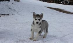 Siberian Husky pups for sale. Only three females left.Comes with first shot + dewormed. pic one and two are same pup (female with one brown and one blue eye) pic three and four are same pup (female with green/blue eyes) pic five (female with two brown