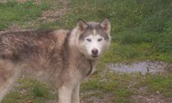 Zana is a beautiful Siberian husky cross. She's aproximatly six and a half years old. Used to be a sled dog, comes with harness. She is spayed. She does well with children and other dogs. However she doesnt do well with chickens and small farm animals