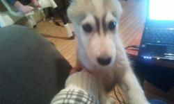 Looking to sell my Siberian Husky puppy. He is 4 months old. He has papers and is up to date with his needles. $450 obo. Please e-mail.
