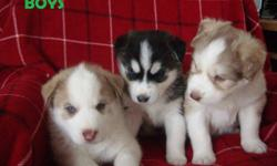 We have 5 adorable siberian husky pups ready to go to their new homes after January 15, 2012. 3 males and 2 females are available. Black&white boy has bi-colored eyes, the other two - blue; girl on the left has blue eyes, the other one-grey for now.