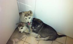 3 remaining puppies, 2 grey females and 1 black male, the first 2 pictures are of the three left, they received their shots and de worming today (December14th, 2011) The father is a pure Siberian Husky, no papers and the mother is a cross between a pure