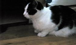 4 Paws at a Time has a beautiful adult female cat named Isabelle available for adoption. Isabelle is a lovely short haired black and white cat. Isabelle was found abandoned in the woods in Cape Breton, with a litter of newborn kittens. Someone was kind