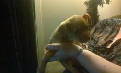 Tan colored, very cute. Very freindly & loves to cuddle. Used to other dogs (as we have the parents), children and cats. 8 weeks old. Female. $200.00   Parents are each about 13-14 lbs.