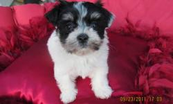 One pup left THESE BEAUTIFUL BABE ARE NOW READY FOR THERE NEW HOMES.THE PUPS ARE JUST OVER ONE POUND NOW .(9WEEKS)   THE pup will  BE 8 LBS. SHE IS VERY FRIENDLY ,SUPER SOCIAL NOT THE NERVOUS OR YAPPY kind. SHE HAS A  LUXRIOUS COAT OF HAIR AND LITTLE