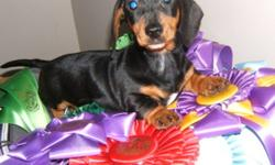 Beautiful CKC Reg. Mini Dachshund Pups Smooth Coat Male $500 and Female $600  pups Great Family Pet Low Shed Breed Should Mature To 8 to 10 pounds full grown Vaccinated, Dewormed Ready to Go 2 Year Health Guarantee  306-869-2559