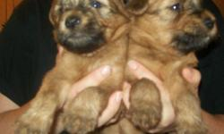 We have 2 male Wheaten puppies ready to go the start of the new year! They are non-shedding, ckc registered, de-wormed, micro-chipped, 1st needles and vet checked. These puppies are looking for a forever home!