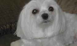 SOLD Beautiful Male Maltese 2 years old CKC Registered... Quite small, short legs, and very straight thick hair.  Beautiful Black short little nose and black padded paws. 5 1/2 llbs little male.  Beautiful little female just turn 3 years old.  4 1/2