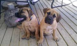 We have one male and one female South African Boerboel puppy for sale. bolth are fixed and have current shots. They are very sweet with excellent disposition, but will be very large as adults. For more information please contact us.