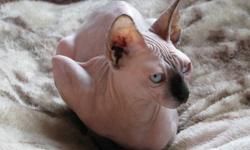 TICA/CFA Registered female show quality seal mink Sphynx kitten for sale. Lovely blue eyes. Very affectionate. What these cats lack in hair they more than make up for in a unique dog like personality. Family bred and raised underfoot. Good with children,