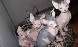 4 beautfull sphynx kittens available, very healthy and happy, have their first shots, and will be spay/neutered before going to new homes, blue/white, black/white, calico and red, these kittens are very playful and friendly, please contact for more info
