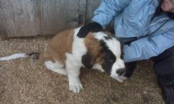 These cute and adorable puppies are looking for their very own loving home. Please take time and peek at our pictures. You can see that they would be a great addition to any family. 2 male pure breed St.Bernard puppies. First and second shots, dewormed.