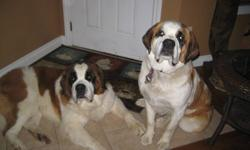 We have 4 St. Bernard puppies left  that are just over 3 months and are ready for a new loving home. They are pure bred but come without papers. There are 3 males and one female, all rough coats.  There a few pictures here of when they were 5 weeks old