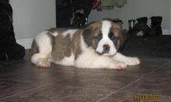 St Bernard Puppies for sale. Two short haired females and two long haired females. They are cute as can be!!!!!!!  Have been around kids and other dogs. Have first shots and been dewormed. If you see one that you like I will send you some more pictures