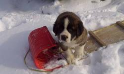 We have 1 male St Bernard puppy he is big and short haired  was the only one in the litter and had lots of milk.He was raised on our farm VERY cute and cuddly with lots of freindship just a perfect pet or companoin! Comes vet checked VERY Healthy with