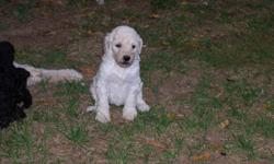 STANDARD POODLE PUPPIES AVAILABLE OCT21.WE HAVE 5 GIRLS TO CHOOSE FROM. and two male, WHITE, BLONDE AND BLACK RAISED WITH KIDS AND OTHER PETS. VERY INTELLIGENT, NON SHEDDING HYPO ALLERGENIC, AND LOYAL BREED. WILL MATURE TO BETWEEN 45-65 LBS. CALL AT