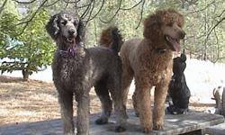 Beautiful Standard Poodle Puppies 5 apricot and  1 cream. CKC registererd, Vet Checked. I have both parents, grandmother. Calm and gentle. Delivery is available to approved homes. Tails are not docked. For show, agility or companionship. Please contact