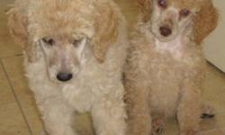 Willow Creek Standard Poodles   AKC Registered Leonardo (Chocolate) and AKC Registered Alley Cat (Apricot) are expecting babies Feb 3, 2012.   Puppies will come in all colors: cream, chocolate, black, apricot and chocolate They will be ready for their new