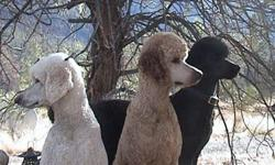 "Beautiful calm Standard Poodle pups   Top bloodlines CKC Registered    1st & 2nd shots   Tattooed   Tails undocked   Looking for great loving homes in BC area for companionship, show, and agility.  ""Poodle Worthy People"" only need apply!  Pups are a cream"