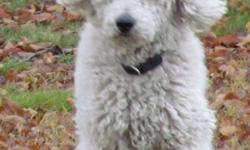 White standard poodle for sale.  He is a great guy that loves people and loves to play ball and frisbee.  Good in the house, car, on leash, likes to be groomed.  Proven breeder.  Needs fenced yard since he is a social butterfly.