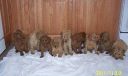 COME PICK YOURS READY TO GO NOW, 9 HOME RAISED STANDARD POODLES, DARK RED TO APRICOT,VET. CHECKED,DEWORMED,FIRST SHOTS, 613-582-7043 613-401-3175 MALES $ 400 ONLY 2 MALES LEFT and 1 female @ $ 700 NOV. 30 th.