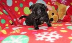 If you are looking for a Tiny Chihuahua of distinction...You have found it! Proudly announcing 2 litters of stunning Chihuahua's. We have 2 litters to choose from. Both long hair and short hair available. The parents are Tiny! The daddy is 3 pounds and is