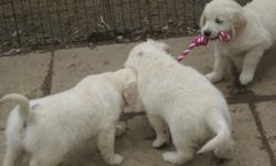 Golden Retriever Puppies available from a reputable breeder!   We Breed the English, European and Canadian lines.   We have puppies that are ready to go for there ever home!   We have have puppies that are 8 weeks old males and females available cream to