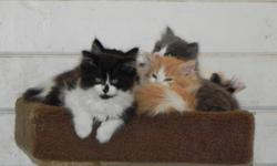 Absolutely stunning litter of beautiful healthy kittens.  Coat is dense, thick and long (like spun cotton).  Mom is a calico Angor X Persian and dad is a flame point Himilayan.  Kittens are socialized and friendly.  Vet checked, vaccinated, dewormed and