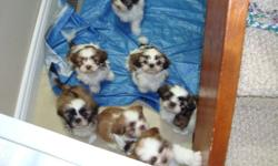 SUPER CUTE AND READY TO GO MALSHIS   We only have 1 female, She is pee pad trained and can go to her new homes TODAY Malshis are a cross between a Maltese and a Shih Tzu. She will grow to approx 10 pounds  She have been raised in our home with our young