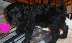 We have ONLY 4 absolutely Gorgeous Cockapoo puppies,  2 beautiful females and 2 handsome males left, low to none shedding, allergy friendly, sweet, loyal, affectionate pups amazing family pets, a fairly easy dog to train very intelligent breed that will