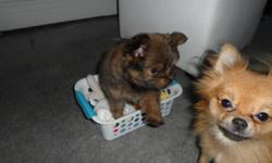 I have an 11 week old teacup pomeranian puppy for sale. She is very intelligent, friendly and is looking for a great home to love her. please contact for more info. (mom is shown in first picture.)