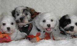 Super Soft Non-Shedding Havanese Babies!   Havanese originate from Havana Cuba and are well known for their super soft coat with an equally soft nature!  They are fantastic family dogs and are very smart and easily trainable.   These pups are excellent