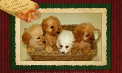 Ready to wiggle our way into your hearts.   We have two precious litters; one born on October 11 with 3 girls (burgandy) and 2 boys (blue) and four precious girls born on October 18th.    These adorable COCKAPOO puppies are looking for their new home.
