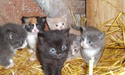 Kittens for sale. $20 each Would make great family pets, or mousers, and just in time for Christmas! Mother is excellent mouser, Kittens Love people!!