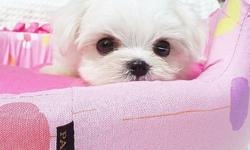 Adorable PURE BREED T-CUP Maltese puppies are looking for their forever home. They were born on December 13, 2011. Both of the parents have snow white coat, big round eyes, and short muzzle! Both parents are registered in Korea (KKC) and we will be able