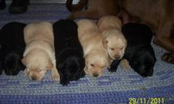 I have 6  puppies i want to sell there are three tan and three black three of them are males  they are ready to go in two weeks they are excellent with kids very playfull  email or phone me if your interseted