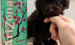 We have a tcup female Poodle pup that is now available. She is charted to be 4lbs when full grown. Mom is 5lbs and dad is only 3lbs. She is pee pad trained, comes with first shot dewormed and health record.   Picture 1 - Puppy Picture 2 - Puppy Picture 3