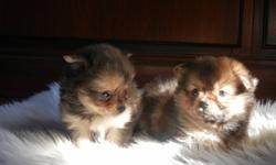 Beautiful teacup  pomeranian puppy. Male, small with lots of fur, will be vaccinated, dewormed, vet checked, See father on last picture. Ready to leave for their new home. contact us for a visit; (519) 240 4760 We are looking for a good home before the