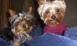 7 month old ckc reg yorkshire terrier female. Currently weight is 2.5 pounds.Tail docked, dewclaws removed and microchiped. All her shots are up to date and she is in excellent health.Her pedigree is from USA and Hungary. She is a little love bug. I can