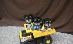 Only have one male pup. It is the smallest from the litter. Being house trained going outside for pee pee pooh pooh. Adorable Teacup Teddy Bear Face Morkie and so very gentle. My pup has been family raised in are own home. This is a cross with the