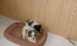 We have two tiny pom pups available. Both are girls - a black and white and a chocolate and white. Both parents are under 5 lbs and available to view. They have been vet checked and have had their 1st set of shots.