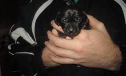 I have 3 Chi-weenie puppies avail mid-feb They will have their first shots and be vet checked We have 2 males and 1 female avail (please contact if interested in the female for price) Chihuahua stud and Dachshund dame All puppies black in color with white